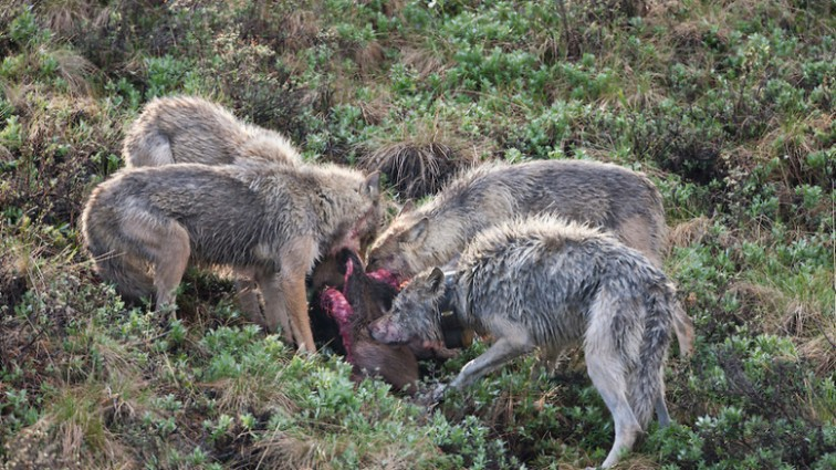 Wolf pack feed on moose calf