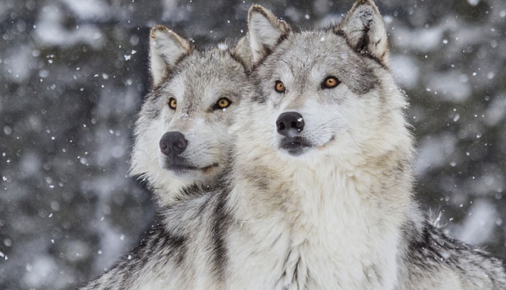rocky_mountains_gray_wolf